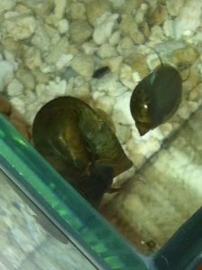 Ramshorn and common pond snail in our aquarium