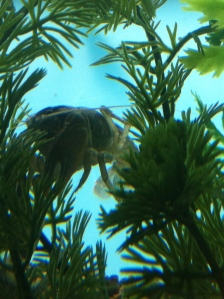 molted crayfish hiding in bushes as it is vulnerable to predators