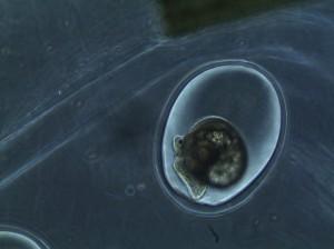 snail embryo development in eggs, day 3
