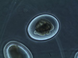 snail embryos take shape in their eggs