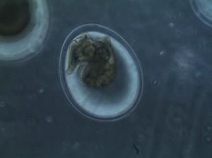 snails take shape in the egg