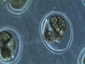day 4 of snail embryos in eggs
