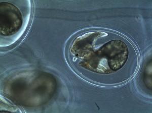Day 4 of snail embryo development