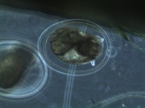 Day 4 pm of snail embryo development