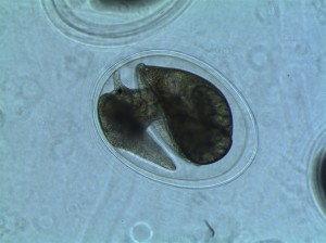 Day 5 p.m. of snail embryo development
