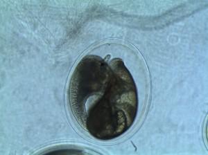 Day 6 P.M. snail embryo