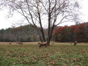 elk herd grazing in Cataloochee Valley