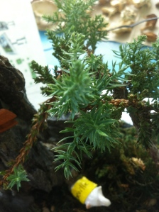 bonsai tree new growth