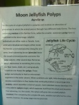 paper describing jellyfish life stages