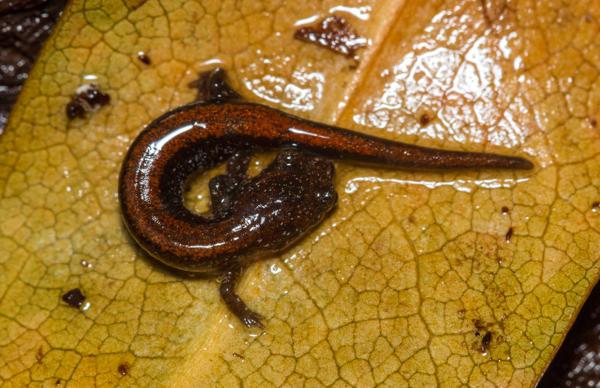 salamander curled up on leaf