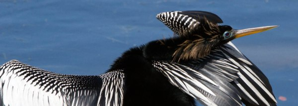 dark bird with white markings on its back and a blue ring around its eye, an anhinga, with head tucked over shoulder