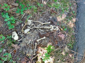 Raccoon skeleton found in Cary, NC