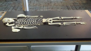 Creating the raccoon skeleton display