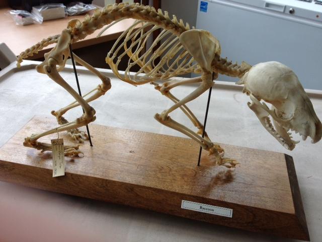 raccoon skeleton diagram | Diarra