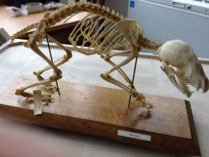 Raccoon skeleton from the Museum's research collection