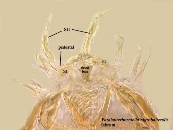 Paralauterborniella nigrohalterale (freshwater midge)