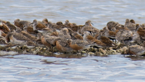 Group of Red Knots.