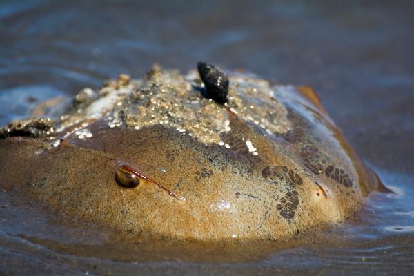 A solitary Horseshoe Crab.