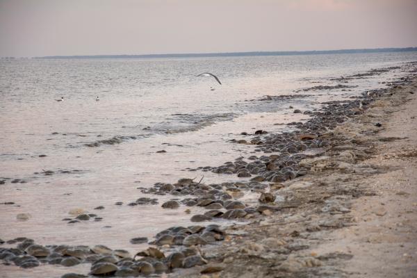 Beach invasion by Horseshoe Crabs.