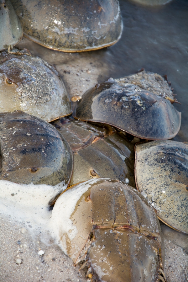 Breeding Horseshoe Crabs.
