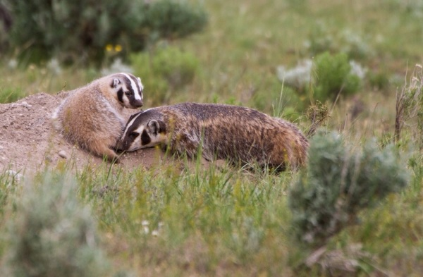 American badgers are one of many species we hope to see on our trip. Last summer, our Museum group watched the adult badger bring food back to the den for its young.