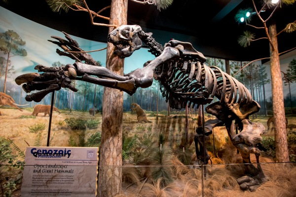 Giant ground sloth in the Prehistoric North Carolina Exhibition at the Museum of Natural Sciences.