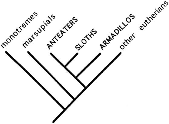 Xenarthra Phylogeny Revealing the S...