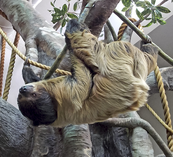 Two-toed sloth in the Living Conservatory.