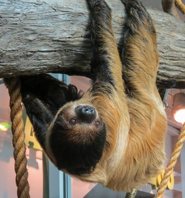 Two-toed sloth checking out the visiting primates in the Living Conservatory.
