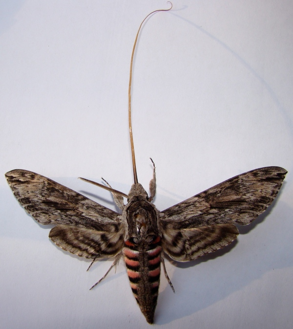Convolvulus Hawk-moth, Agrius convolvuli, with stretched proboscis