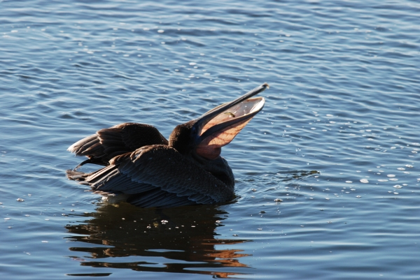 Brown Pelican Eating Fish