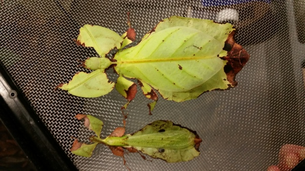 Notice the female leaf insect on top and male on bottom.
