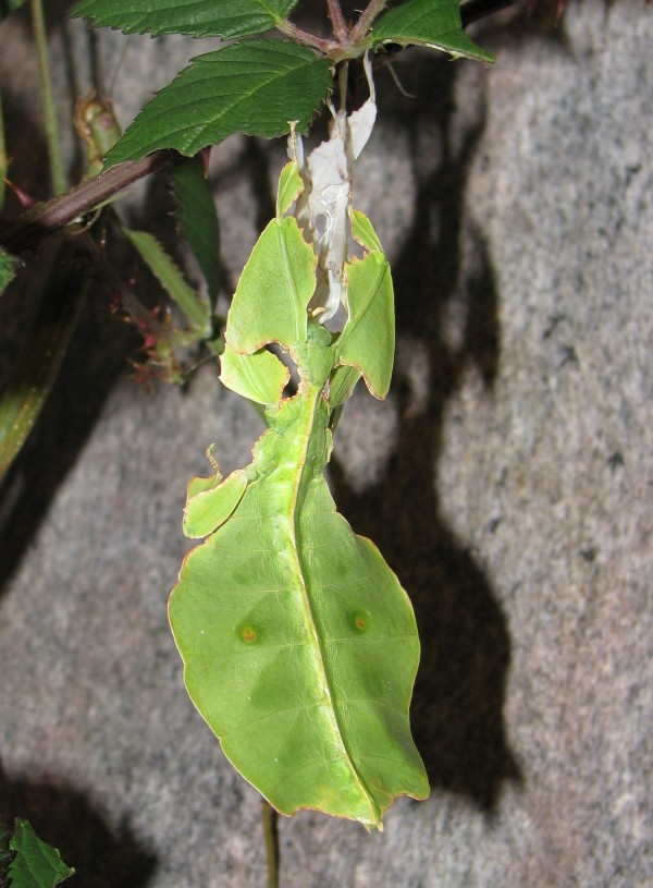 Juvenile Female Leaf Insect