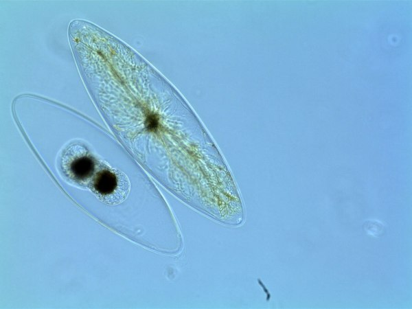 The Pyrocystis cell on the left has just divided.