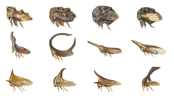Illustrations of Treehoppers