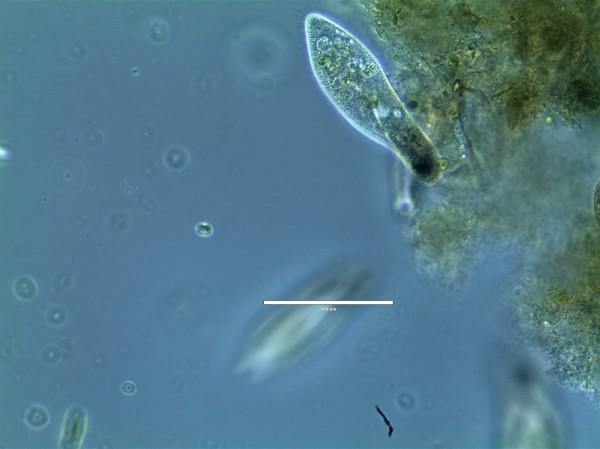 A Paramecium feeding on algae in the Micro World lab culture