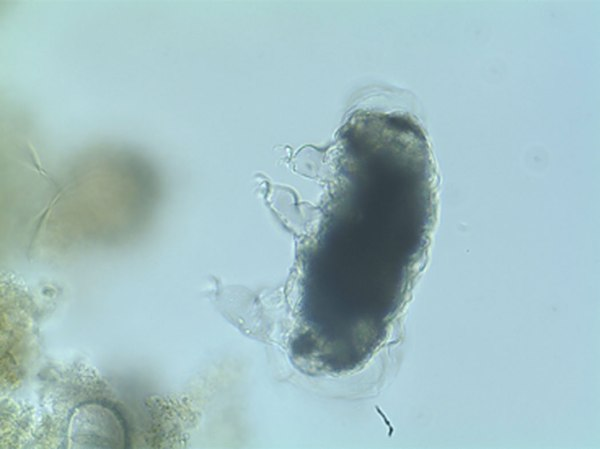 A tardigrade in the process of molting