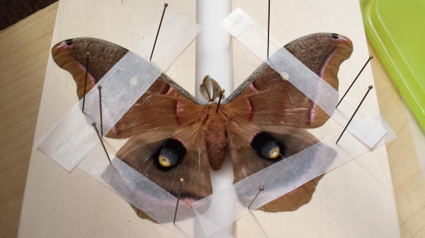 Polyphemus moth (Antheraea polyphemus)  during the pinning process.  Photo by Courtney Johnson.