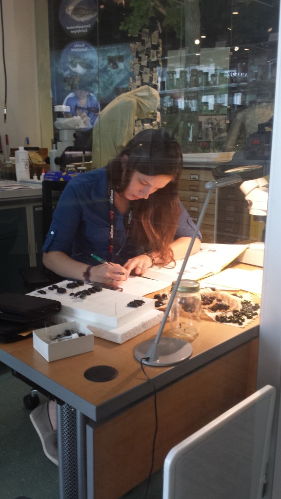 Courtney pinning beetles in the Naturalist Center. Photo by Cindy Lincoln.
