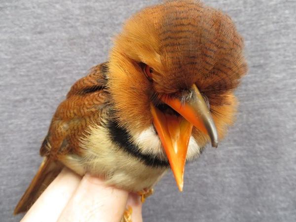 Collared Puffbird (Bucco capensis)