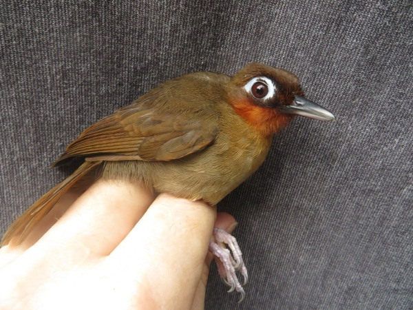 Rufous-throated Antbird (Gymnopithys rufigula)