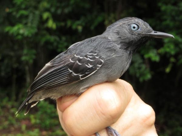 Black-chinned Antbird (Hypocnemoides melanopogon)