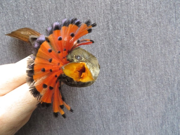 Royal Flycatcher (Onycorhynchus coronatus)