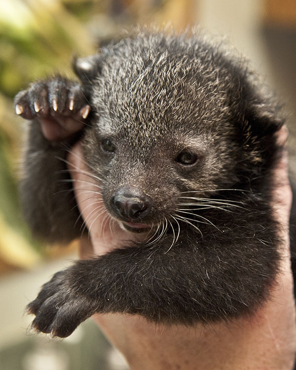 Cole Bearcat Binturong as an infant. Photo by Abbie Cooke, courtesy of the Conservators Center.