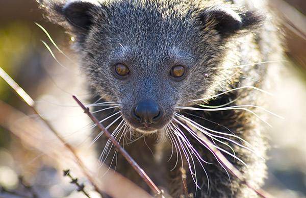 A Young Binturong by Kim Barker