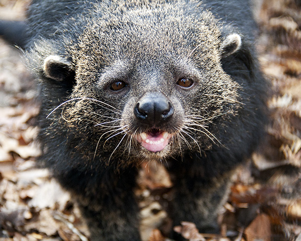 Stella Binturong. Photo by Kim Pernicka, courtesy of the Conservators Center.