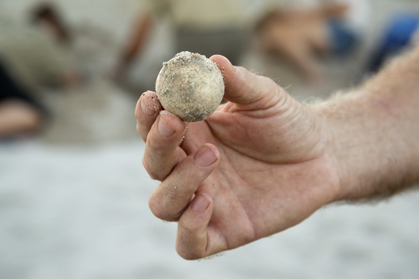 A Topsail Turtle Project volunteer displays one of the unhatched loggerhead eggs. Photo: Karen Swain/NCMNS.