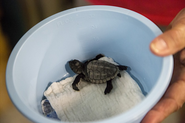 At last! A photo of a loggerhead hatchling, albeit one we didn't see hatch. Photo: Karen Swain/NCMNS.