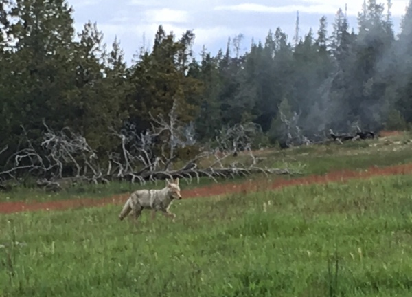 Coyote in Upper Geyser Basin