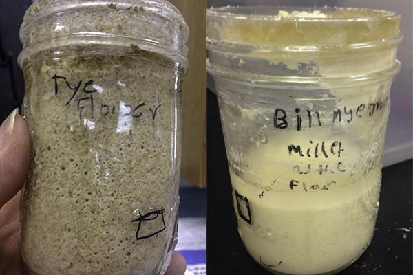 (Left) The sourdough starters made with rye were bubbly and rose high in their jars, thanks to plenty of nutrients in the flour and gluten proteins that trap the carbon dioxide like a balloon. (Right) Sourdough starters made with millet are runny, and formed a liquid layer over the weekend that smelled like alcohol. This liquid layer is a sign that the microbes inside it are hungry. (Photos: Kristen Kemp/Moore Square Middle School.)